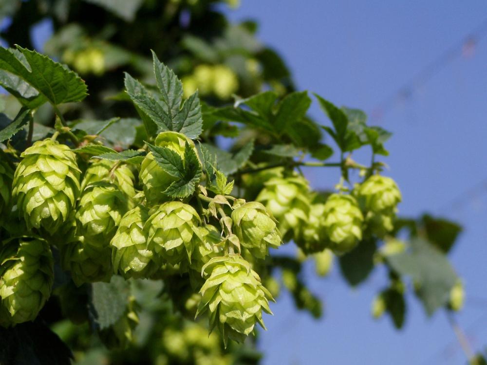 hops-1405519-1280x960.jpg